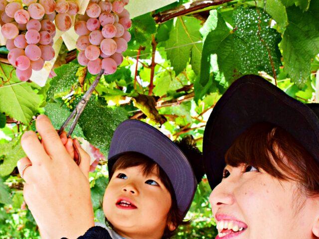 【ぶどう狩り】メタセコイア並木の果樹園で60分ぶどう食べ放題☆チケット&朝食付プラン