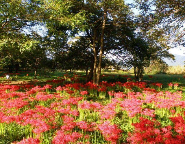 ホテルからすぐ!琵琶湖岸を真っ赤に染める「彼岸花」の群生。隠れた名スポットのご紹介